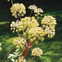 Graines potagères ANGELIQUE OFFICINALE (Angelica archangelica) - Graineterie A. DUCRETTET