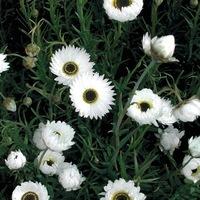 graines de fleurs annuelles vente en ligne de semences annuelles. Black Bedroom Furniture Sets. Home Design Ideas