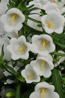 Graines De Fleurs Vivaces Campanule Graineterie A Ducrettet