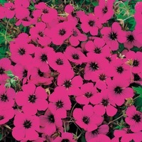 Graines de fleurs vivaces geranium graineterie a - Graine de geranium ...
