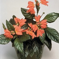 CROSSANDRA CROSSANDRA-TROPIC (Crossandra undulaefolia)-Flame (orange saumon) - Graineterie A. DUCRETTET