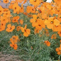 PAVOT PAVOT-COPPER QUEEN (Papaver heterophyllum)-orange - Graineterie A. DUCRETTET