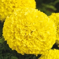 Graines de fleurs ROSE D'INDE PERFECTION F1 (Tagetes erecta) - Graineterie A. DUCRETTET