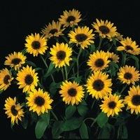 Fleurs Coupées Grand Soleil 70 Graines de Tournesol Beauté d/'Automne