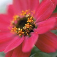 ZINNIA A PETITES FLEURS ZINNIA A PETITES FLEURS-PROFUSION F1 (Zinnia marylandica)-rose corail - Graineterie A. DUCRETTET