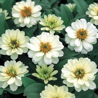 ZINNIA A PETITES FLEURS ZINNIA A PETITES FLEURS-PROFUSION F1 (Zinnia marylandica)-double blanc - Graineterie A. DUCRETTET