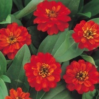 ZINNIA A PETITES FLEURS ZINNIA A PETITES FLEURS-PROFUSION F1 (Zinnia marylandica)-double fire - Graineterie A. DUCRETTET