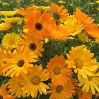Graines De Fleurs Annuelles Calendula Souci Graineterie A