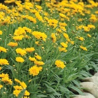 25 Graines Coreopsis-Sunkiss