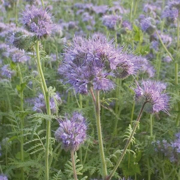 graines potag res engrais vert bio phac lie phacelia tanacetifolia graineterie a ducrettet. Black Bedroom Furniture Sets. Home Design Ideas