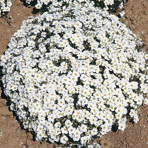 graines de fleurs arenaria a montana arenaria montana. Black Bedroom Furniture Sets. Home Design Ideas
