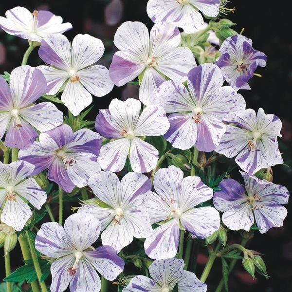 Graines de fleurs geranium splish splash geranium - Graine de geranium ...