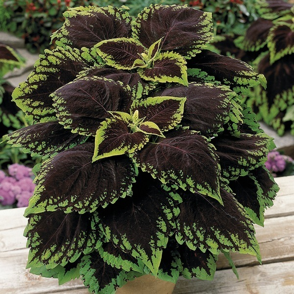 graines de fleurs coleus kong solenostemon. Black Bedroom Furniture Sets. Home Design Ideas