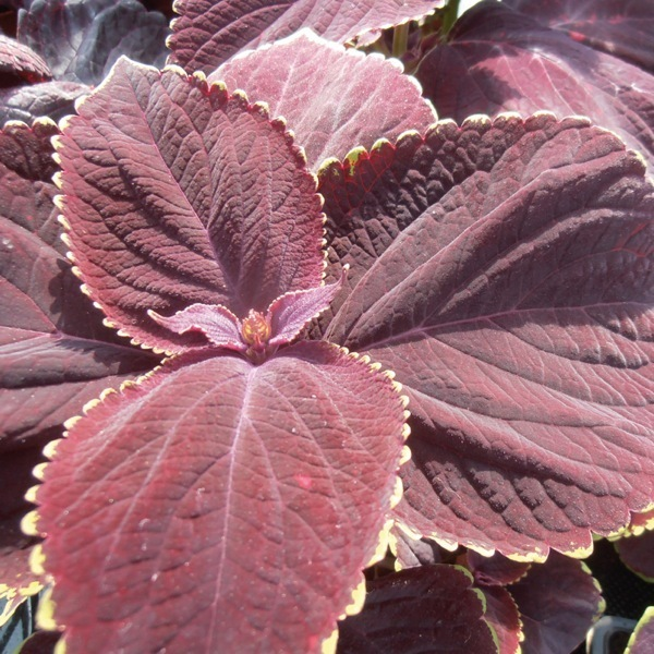 graines de fleurs coleus king solenostemon. Black Bedroom Furniture Sets. Home Design Ideas