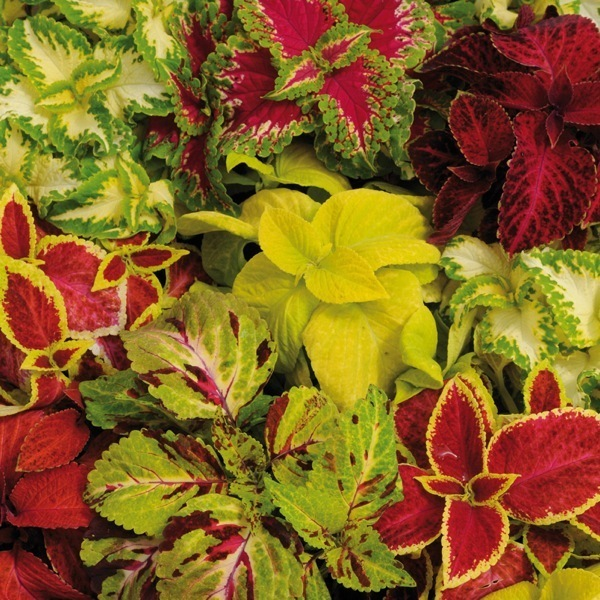 graines de fleurs coleus wizard solenostemon. Black Bedroom Furniture Sets. Home Design Ideas