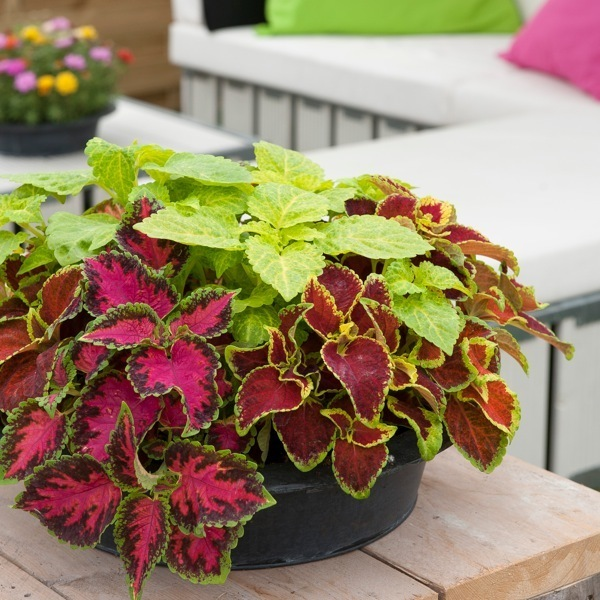 graines de fleurs coleus fairway solenostemon. Black Bedroom Furniture Sets. Home Design Ideas