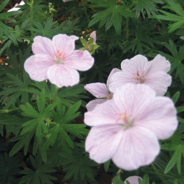 Graines de fleurs geranium vision pelargonium sanguinum - Graine de geranium ...
