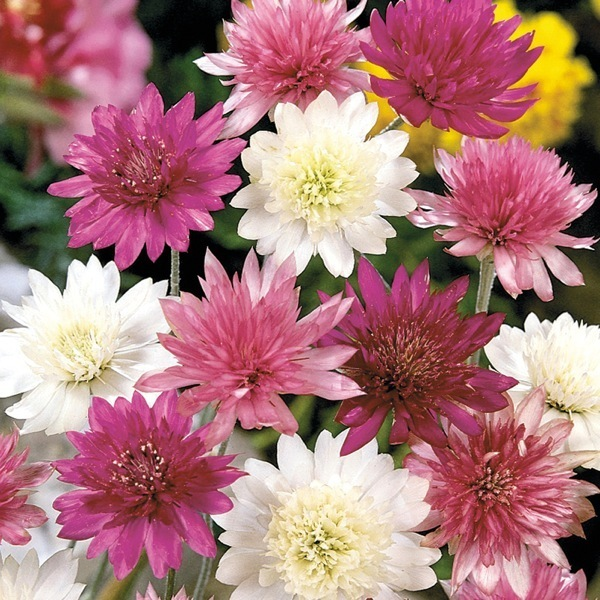 graines de fleurs immortelle lumina xeranthemum annuum graineterie a ducrettet. Black Bedroom Furniture Sets. Home Design Ideas