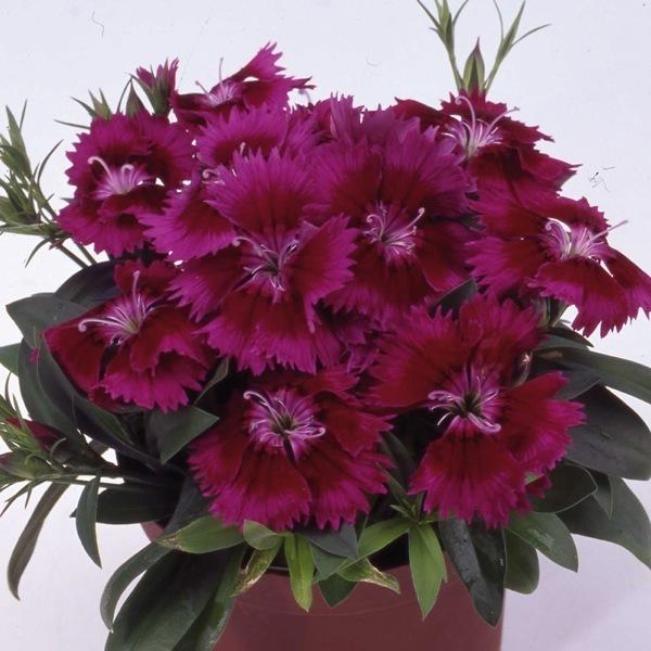 Graines de fleurs oeillet de chine chiba f1 dianthus chinensis x barbatus graineterie a - Oeillet de chine ...