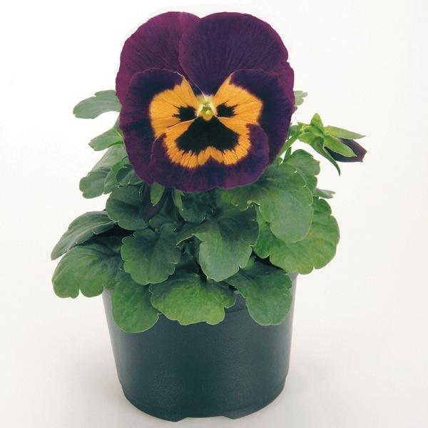 graines de fleurs pensee a grandes fleurs ambiance f1 viola witrockiana graineterie a ducrettet. Black Bedroom Furniture Sets. Home Design Ideas