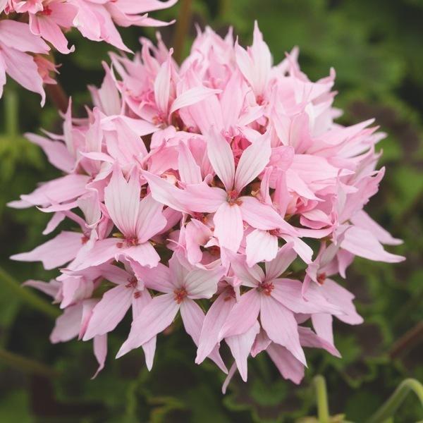 Graines de fleurs geranium zonale quantum f1 pelargonium - Graine de geranium ...