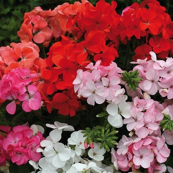 Graines de fleurs geranium zonale inspire f1 pelargonium - Graine de geranium ...