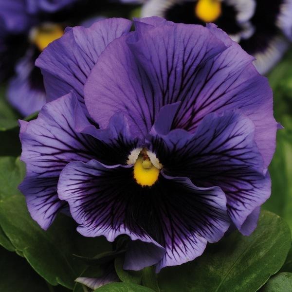 graines de fleurs pensee a fleurs moyennes frizzle sizzle f1 viola witrockiana graineterie a. Black Bedroom Furniture Sets. Home Design Ideas