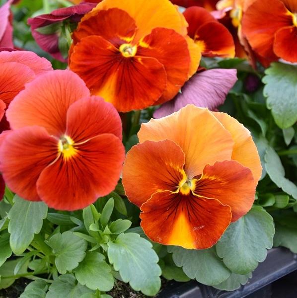 Graines De Fleurs Pensee A Grandes Fleurs Prim Plus F1 Creation