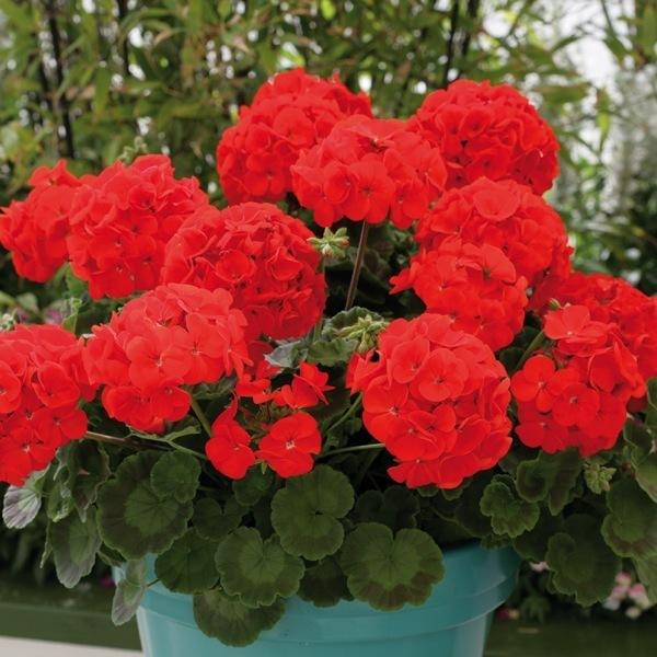 Graines de fleurs geranium zonale moulin rouge f1 - Graine de geranium ...