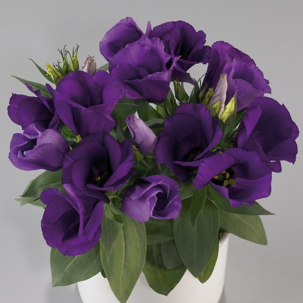 graines de fleurs lisianthus carmen f1 eustoma grandiflorum graineterie a ducrettet. Black Bedroom Furniture Sets. Home Design Ideas