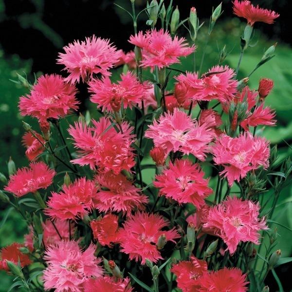 Graines de fleurs oeillet de chine elegance f1 dianthus chinensis x barbatus graineterie a - Oeillet de chine ...
