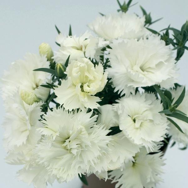 Graines de fleurs oeillet de chine grace f1 dianthus chinensis graineterie a ducrettet - Oeillet de chine ...