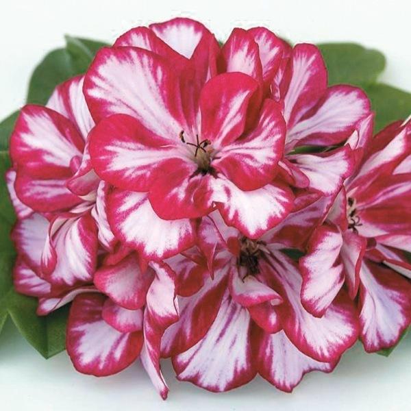 Graines de fleurs planlib 30 jeunes plants de boutures geranium lierre double graineterie a - Geranium lierre double retombant ...