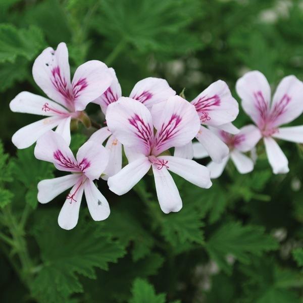 Graines de fleurs planlib 30 jeunes plants de boutures - Graine de geranium ...