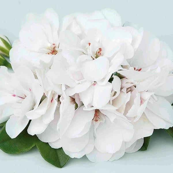 graines de fleurs planlib 30 jeunes plants de boutures. Black Bedroom Furniture Sets. Home Design Ideas