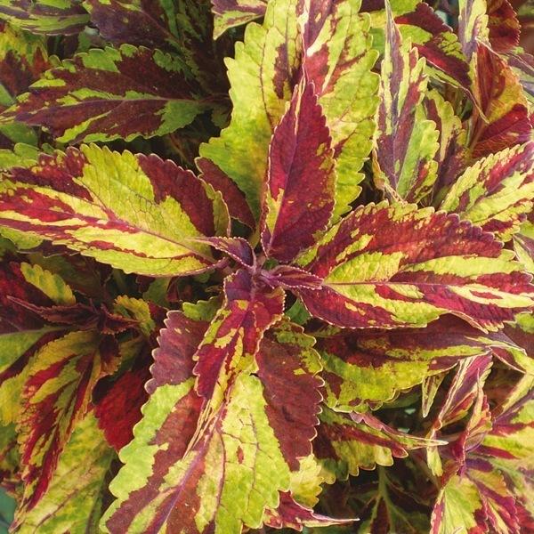 plants planlib 30 jeunes plants de boutures coleus graineterie a ducrettet. Black Bedroom Furniture Sets. Home Design Ideas