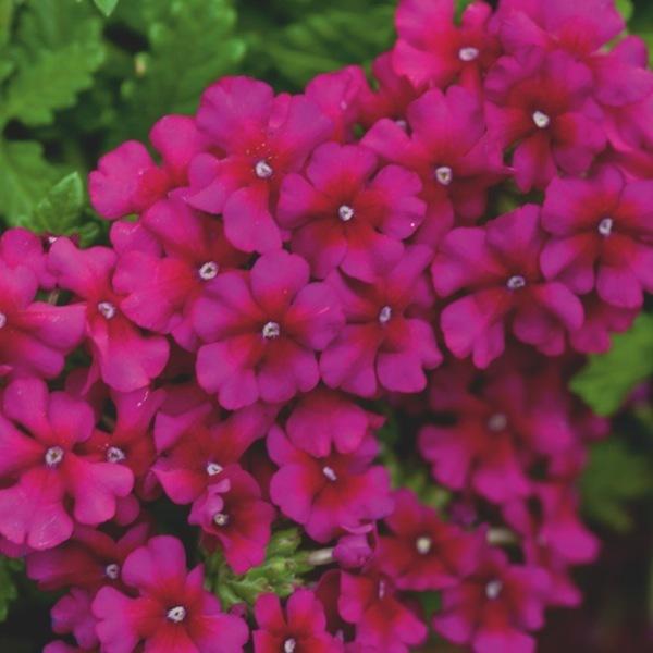 Verveine fleur vivace elegant la verveine hybride cette for Vivace retombante