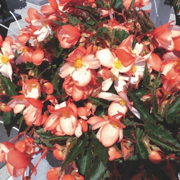 plants planlib 30 jeunes plants de boutures begonia graineterie a ducrettet. Black Bedroom Furniture Sets. Home Design Ideas