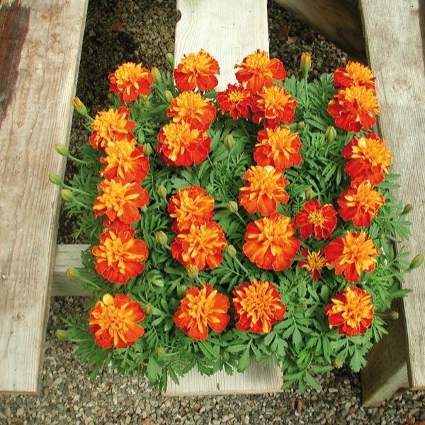 Plants plantop 384 annuelles de semis tagetes oeillet d - Semis oeillet d inde ...