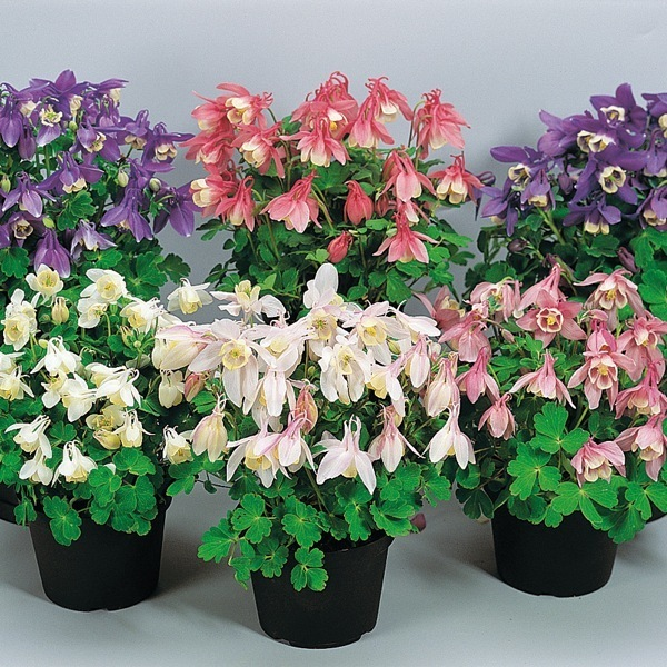 graines de fleurs plantop 84 vivace de semis aquilegia. Black Bedroom Furniture Sets. Home Design Ideas