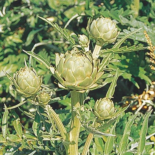 plants plantop potag re de semis artichaut graineterie a ducrettet. Black Bedroom Furniture Sets. Home Design Ideas